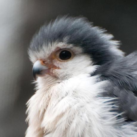 falcon78