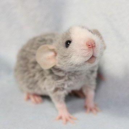 ratstick