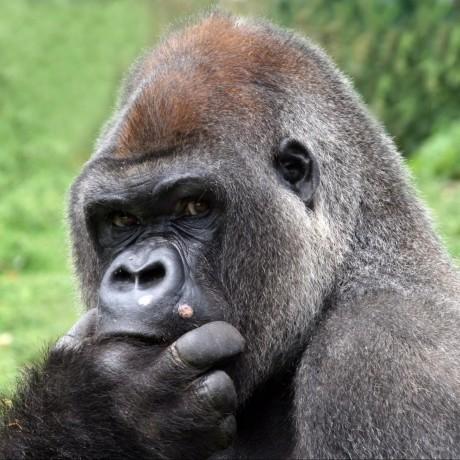 Top 75 Gorilla Developers | GithubStars