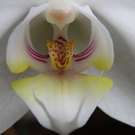 orchid-hybrid