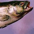 doug-fish