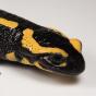 @salamanders
