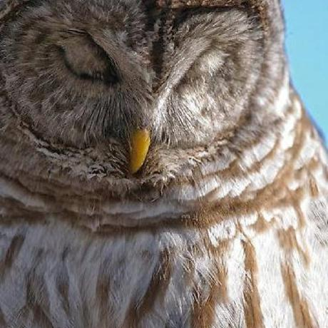 sleeping-owl