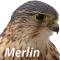 @merlin-lang