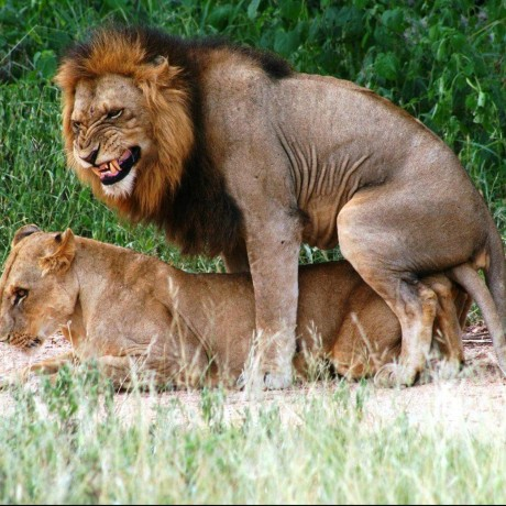 king-cat